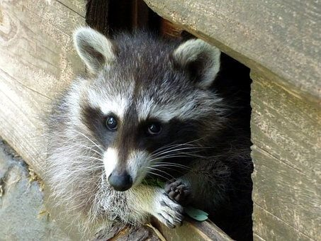 Uninvited Guests – When Critters Make their Home in your Roof